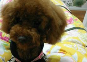 寻狗启示,眉山红棕色泰迪身着粉色衣服6个多月大,它是一只非常可爱的宠物狗狗,希望它早日回家,不要变成流浪狗。