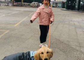 寻狗启示,义乌福田 兴中小区 6个月左右金毛,它是一只非常可爱的宠物狗狗,希望它早日回家,不要变成流浪狗。