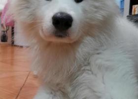 寻狗启示,本人在佛山禅城,遗失了一只萨摩耶犬,有看到希望可以联系一下,它是一只非常可爱的宠物狗狗,希望它早日回家,不要变成流浪狗。