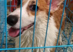 寻狗启示,南庄镇堤田村遗失一只白黄柯基,它是一只非常可爱的宠物狗狗,希望它早日回家,不要变成流浪狗。