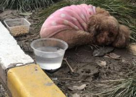 寻狗启示,上海宝山殷高西路附近泰迪或贵宾寻主人,它是一只非常可爱的宠物狗狗,希望它早日回家,不要变成流浪狗。