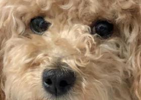 寻狗启示,西山葡萄苑小区丢失黄色泰迪狗狗,它是一只非常可爱的宠物狗狗,希望它早日回家,不要变成流浪狗。
