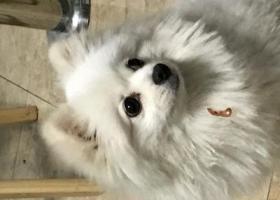 寻狗启示,酬谢3000元寻白色博美狗,它是一只非常可爱的宠物狗狗,希望它早日回家,不要变成流浪狗。