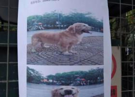 寻狗启示,养了8年的金毛丢了希望谁捡到可以还给我,它是一只非常可爱的宠物狗狗,希望它早日回家,不要变成流浪狗。