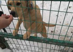 寻狗启示,寻狗启示,拉布拉多犬,找到后重谢!,它是一只非常可爱的宠物狗狗,希望它早日回家,不要变成流浪狗。