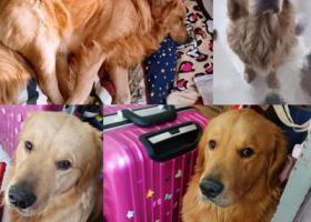 寻狗启示,市北区青海路附近走失金毛,枫叶红,刚满一岁,它是一只非常可爱的宠物狗狗,希望它早日回家,不要变成流浪狗。