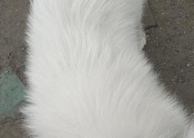 寻狗启示,2091.2.2北京顺义萨摩耶,它是一只非常可爱的宠物狗狗,希望它早日回家,不要变成流浪狗。