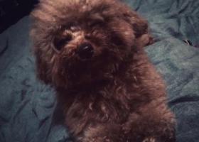 寻狗启示,通州市金沙酬谢两千元寻找泰迪,它是一只非常可爱的宠物狗狗,希望它早日回家,不要变成流浪狗。