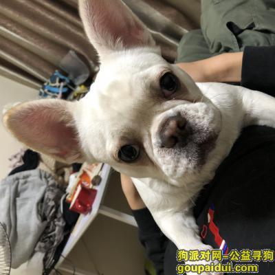 铜陵寻狗网,【有偿寻狗】奶油法斗于今早八点在安徽铜陵杨家山附近走失,它是一只非常可爱的宠物狗狗,希望它早日回家,不要变成流浪狗。