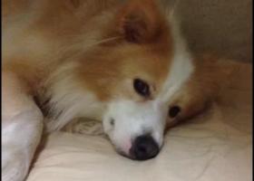 寻狗启示,寻狗启示寻找大黄狗黄白边境牧羊犬它的名字叫妞妞,它是一只非常可爱的宠物狗狗,希望它早日回家,不要变成流浪狗。