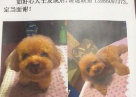 棕色9岁泰迪犬2.1号在武汉市十一医院附近走失