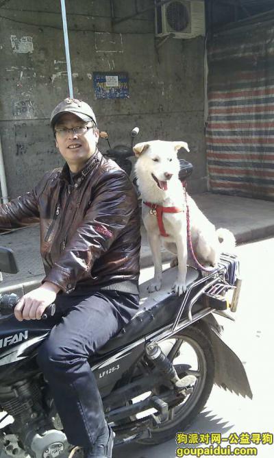 黄石寻狗网,砣坨  你快回来吧爸爸想你了,它是一只非常可爱的宠物狗狗,希望它早日回家,不要变成流浪狗。