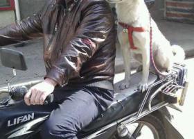 寻狗启示,黄石急寻中华田园犬坨坨,它是一只非常可爱的宠物狗狗,希望它早日回家,不要变成流浪狗。