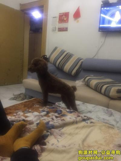 大庆寻狗网,寻找棕色小泰迪一周岁,它是一只非常可爱的宠物狗狗,希望它早日回家,不要变成流浪狗。