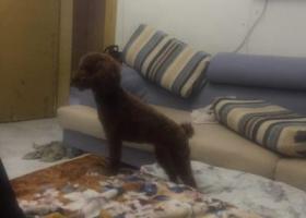 寻狗启示,寻找棕色小泰迪一周岁,它是一只非常可爱的宠物狗狗,希望它早日回家,不要变成流浪狗。