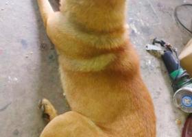 寻狗启示,寻狗启示:土黄狗  名字叫 丁丁,它是一只非常可爱的宠物狗狗,希望它早日回家,不要变成流浪狗。