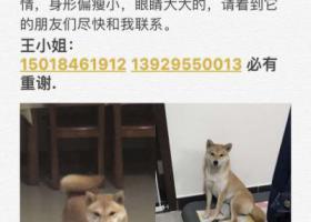 寻狗启示,母,柴犬,2月4日天河冼村附近走失,它是一只非常可爱的宠物狗狗,希望它早日回家,不要变成流浪狗。
