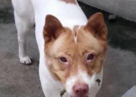 寻狗启示,寻找白色黄花斑的土狗,它是一只非常可爱的宠物狗狗,希望它早日回家,不要变成流浪狗。