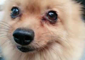 寻狗启示,帮忙寻找爱犬,定有重谢,它是一只非常可爱的宠物狗狗,希望它早日回家,不要变成流浪狗。