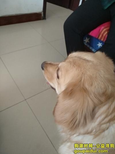 白银寻狗启示,铜城商厦附近捡到金毛,它是一只非常可爱的宠物狗狗,希望它早日回家,不要变成流浪狗。