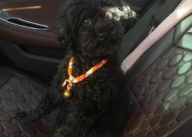 寻狗启示,重金寻狗,公,黑色泰迪。,它是一只非常可爱的宠物狗狗,希望它早日回家,不要变成流浪狗。