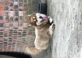 寻狗启示,捡到一只棕色阿拉斯加,寻它主人!,它是一只非常可爱的宠物狗狗,希望它早日回家,不要变成流浪狗。