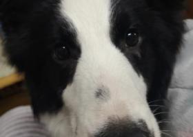 寻狗启示,长沙天心区2月7日第三医院旁捡到母边牧一只有主人吗?,它是一只非常可爱的宠物狗狗,希望它早日回家,不要变成流浪狗。