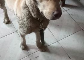 寻狗启示,米白色拉布拉多的主人快来吧!,它是一只非常可爱的宠物狗狗,希望它早日回家,不要变成流浪狗。