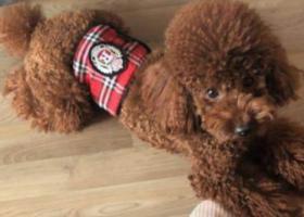 寻狗启示,寻???????????? 建设街附近泰迪一只,它是一只非常可爱的宠物狗狗,希望它早日回家,不要变成流浪狗。
