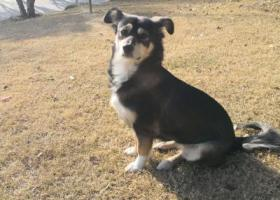 寻狗启示,狗已找到,谢谢,它是一只非常可爱的宠物狗狗,希望它早日回家,不要变成流浪狗。