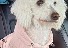 寻狗启示,重酬走失6年的狗狗,白色狗狗,穿粉色棉袄,它是一只非常可爱的宠物狗狗,希望它早日回家,不要变成流浪狗。
