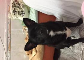 寻找自己的小黑狗在深圳市龙岗区南联新市场附近走失了2天,我家小黑很少出门的,很胆小怕陌生连别的狗都怕。如果看到我家的小黑麻烦联系我,到时重酬谢到。