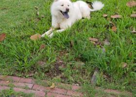 寻狗启示,白色狗,黑色舌头,右腿有伤,它是一只非常可爱的宠物狗狗,希望它早日回家,不要变成流浪狗。