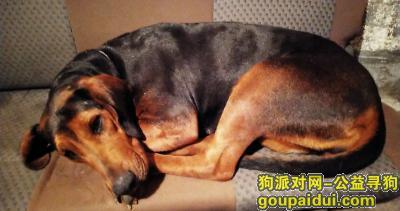"""乐清寻狗启示,乐清市2月9日寻狗""""安倍""""黑色大型狗,它是一只非常可爱的宠物狗狗,希望它早日回家,不要变成流浪狗。"""