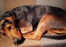 """寻狗启示,乐清市2月9日寻狗""""安倍""""黑色大型狗,它是一只非常可爱的宠物狗狗,希望它早日回家,不要变成流浪狗。"""