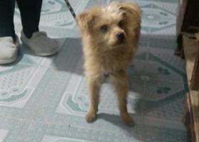 寻狗启示,一只泰迪,有一条黑包白色花纹的牵狗绳,它是一只非常可爱的宠物狗狗,希望它早日回家,不要变成流浪狗。