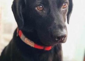 寻狗启示,重酬!海珠区江南大道附近走失黑色拉布拉多,它是一只非常可爱的宠物狗狗,希望它早日回家,不要变成流浪狗。