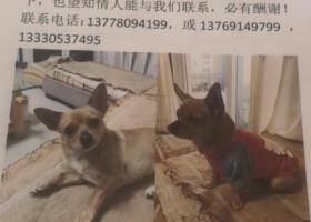 寻狗启示,爱犬于2019年2月9日在游仙区华兴上街走失望知情者告知,它是一只非常可爱的宠物狗狗,希望它早日回家,不要变成流浪狗。