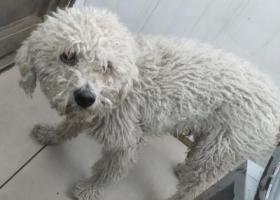 寻狗启示,南苑机场附近路上遇见一只走失的比熊犬,它是一只非常可爱的宠物狗狗,希望它早日回家,不要变成流浪狗。