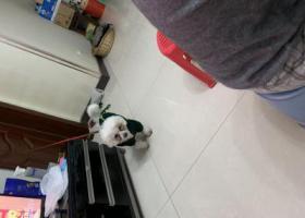 寻狗启示,江北南桥寺可乐小镇B区。寻爱犬比熊,,它是一只非常可爱的宠物狗狗,希望它早日回家,不要变成流浪狗。
