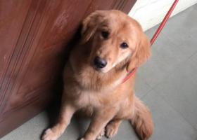 寻狗启示,寻找大型金毛犬,费用可以商量解决,它是一只非常可爱的宠物狗狗,希望它早日回家,不要变成流浪狗。