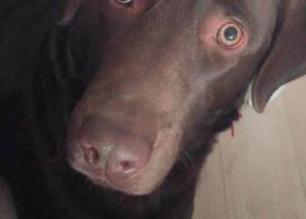 寻狗启示,寻找建国小区附近黑色拉布拉多,它是一只非常可爱的宠物狗狗,希望它早日回家,不要变成流浪狗。
