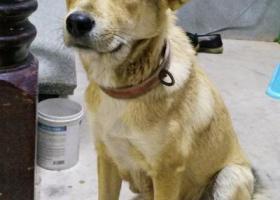 寻狗启示,寻找一只其貌不扬的土狗,它是一只非常可爱的宠物狗狗,希望它早日回家,不要变成流浪狗。