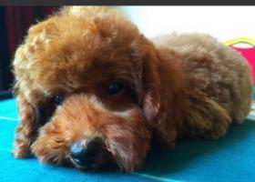 寻狗启示,本人在招远丢失一只泰迪,如有发现,请联系我,重金感谢,它是一只非常可爱的宠物狗狗,希望它早日回家,不要变成流浪狗。