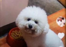 寻狗启示,上海宝山区宝山聚源村附近急寻白色3岁母比熊,它是一只非常可爱的宠物狗狗,希望它早日回家,不要变成流浪狗。