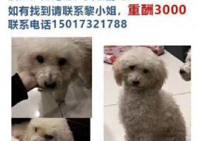 寻狗启示,2018年5月17号在永宁螺丝一带走失贵宾狗一只,它是一只非常可爱的宠物狗狗,希望它早日回家,不要变成流浪狗。