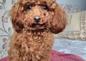 寻狗启示,枣阳市区寻狗,急急急!,它是一只非常可爱的宠物狗狗,希望它早日回家,不要变成流浪狗。