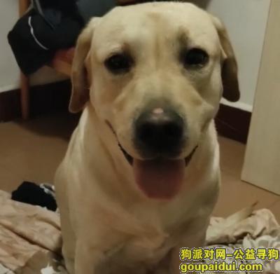 衡阳找狗,急!急!急!寻爱犬多多(米黄色拉布拉多中型犬),它是一只非常可爱的宠物狗狗,希望它早日回家,不要变成流浪狗。