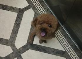 寻狗启示,寻一只四岁泰迪公狗名字叫小不点,它是一只非常可爱的宠物狗狗,希望它早日回家,不要变成流浪狗。