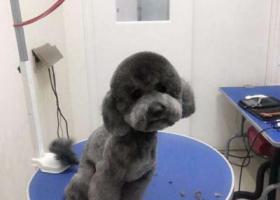 寻狗启示,厦门寻狗。灰色贵宾在厦门二市花鸟市场走丢无断尾,它是一只非常可爱的宠物狗狗,希望它早日回家,不要变成流浪狗。